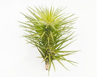 """Air plants Tillandsia Hybrid """"tenuifolia emerald forest ' by Joinflower Joinfolia"""