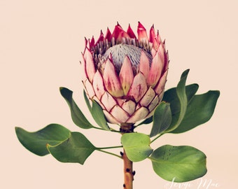 Original fine art photograph. King Protea. Flower art. Flower photography, home decor, office decor.