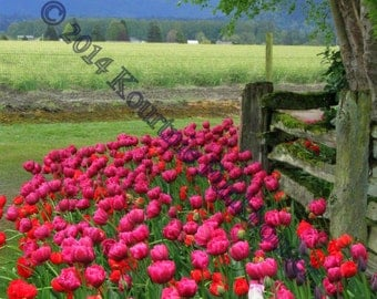 Skagit Valley Tulip Festival- Bed of Pink Tulips- Photographic Print