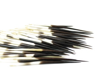 African Porcupine Quills 3-5"