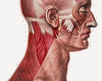 ML23 Vintage 1800's Medical Human Head Neck Muscle Poster Re-Print Wall Decor A2/A3/A4