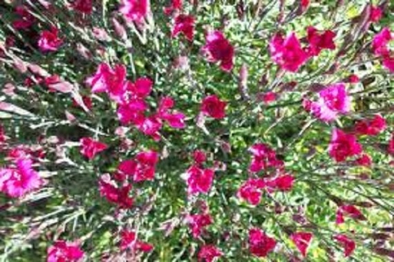 Dianthus deltoides zing rose maiden pink ground cover for Perennial ground cover with pink flowers