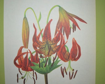 Vintage Botanical Book Plate - Mary Vaux Walcott - Wild Flowers of America - Turk's Cap Lily & Columbia Lily - Antique Flower Print