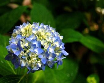Hydrangea in Bloom Photography