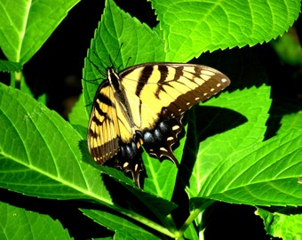 Yellow Striped Butterfly