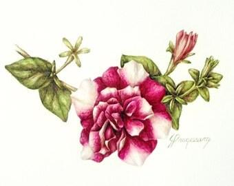 Petunia, original unframed watercolour botanic art painting