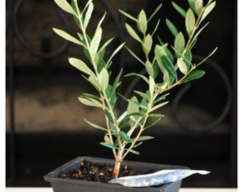 Olive Tree Bonsai with Water Tray and Fertilizer