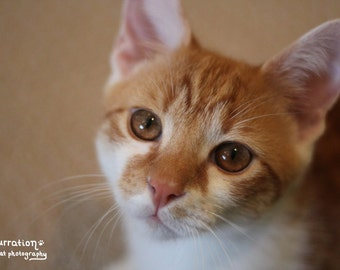 Inquisitive Gaze - Cat Picture - Orange and White Cat - Gifts under 20 - Kitten Print - Nursery Art Photo