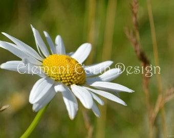 White Daisy, Instant Download, 10x14, Digital Printable, Fine Art Digital Photo, Photography, flower
