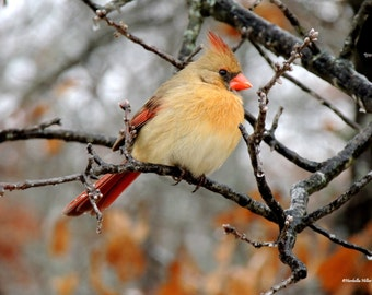 Female Cardinal in Oak Tree,FREE SHIPPING, Bird Art, Fine Art Photography, Wildlife Photography, Home Decor, Office Decor, Wall Prints