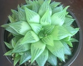 "4"" Succulent - Window Haworthia"