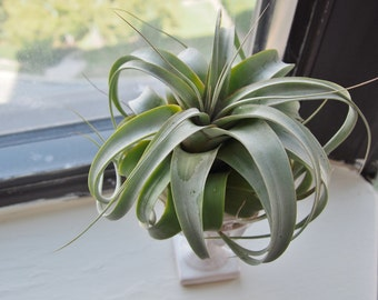 Air Plant Tillandsia xerographica (Queen of Air Plants) [Plant Only]
