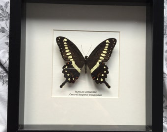Central Emperor Swallowtail Butterfly Frame