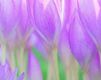 Crocus Flower - Digital Download - Abstract Nature - Nature Art - Flower Art - Wall Art - Modern Art - Screen Saver - Print - Gifts