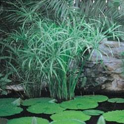5 umbrella palm ornamental grasses five cyperus for Ornamental pond plants
