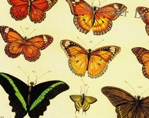 Tropical Butterflies Of The World Seba Entomology Insect Natural History Bug Lithograph Chart Poster Print