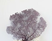 Sea Fan Purple Violet Grape Color Natural Bahama Seafan Coral Coastal Beach Decor for Framing