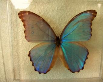 Opal Wing Morpho Butterfly
