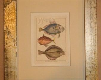 Set of 5 Vintage Hand Colored 1800s Fish Prints Framed - Histoire Naturelle