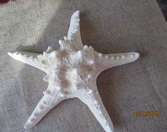 "Knobby  Off White Starfish  10""  Display Centerpieces  Wedding Decor"