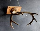 Vintage Mounted Skull and Deer Antler, Rustic Woodland Decor, Primitive Handmade, Folk Art