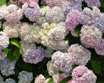 HYDRANGEAS Photograph - 5x7 - Nature Art- GARDEN Art - Great in your Shabby DECOR -Flower Photo- More Sizes Available