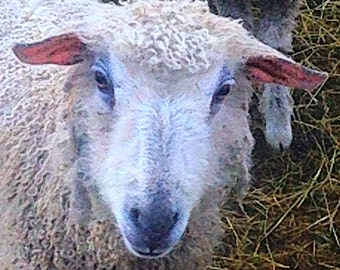 WENSLEYDALE sheep virtural adoption 3 months and get yarn or art batts
