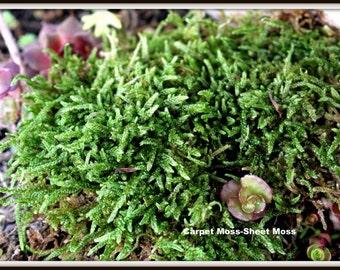 Sheet Moss-Live Moss-Carpet Moss-Terrarium Moss-Vivarium Moss-Sandwich bag live moss