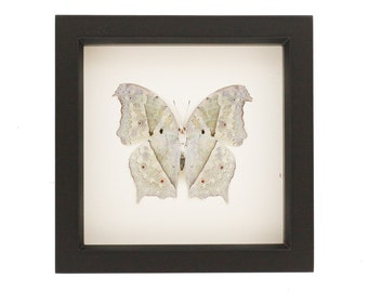 Real Framed Butterfly Taxidermy Mother of Pearl Underside