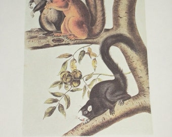 Vintage Audobon Animal Print-2 Sided Book Plate-Mammal-1975 Print-Fox Squirrel/Hare Squirrel