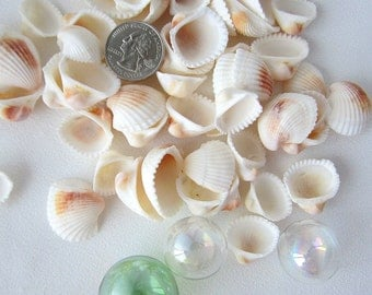 Beach Nautical Common Ark Seashells, Ivory White w Brown, 12oz