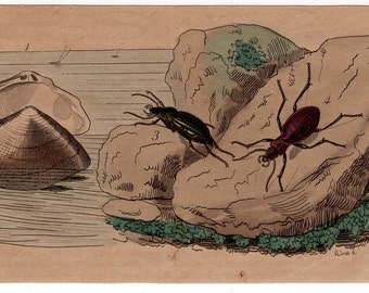 1835 exotic nature print rare original antique hand colored engraving - insect beetle shells waterlife