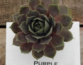 Purple Beauty Sempervivum Plant, Hens and Chicks, Extremely Cold Hardy Succulent