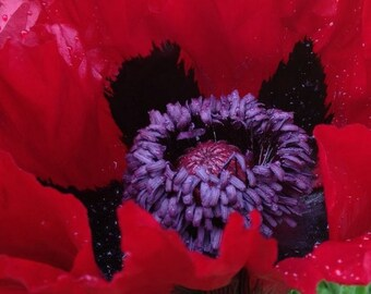 Poppy, Beauty of Livermere Poppy Seeds | Stunning Brilliant Red Oriental Poppy Perfect Perennial Poppy