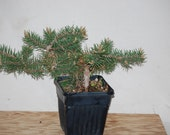 Picea Banksiana 'Schoodic'