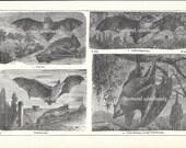 1902 Vintage Illustration of Bats