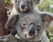 KOALA BABY and MOM Photo, Mom and Baby Animals, Baby Boy, Girl, Safari Nursery Decor, Wildlife Photography, Kids Room, Safari Baby Shower