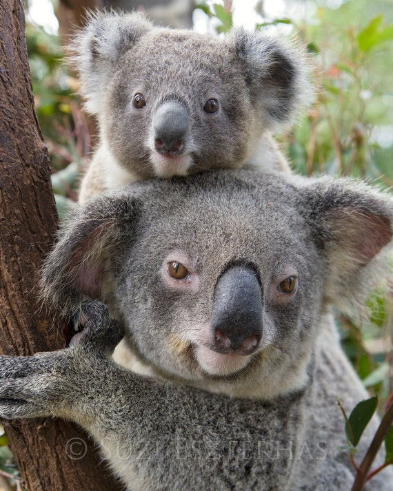 koala baby and mom photo mom and baby animals baby boy. Black Bedroom Furniture Sets. Home Design Ideas