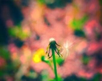 Dandelion With Umbrella