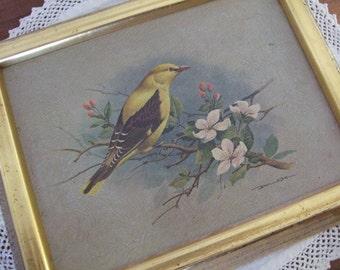 Framed Basil Ede Vintage Golden Oriole Print