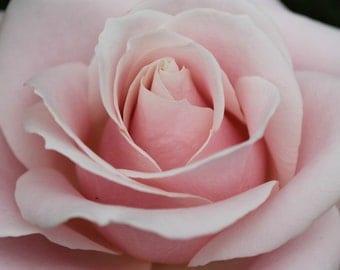 Pale Pink Rose Fine Art Photo