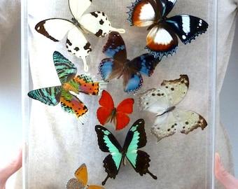 "Real Butterfly Art: Flight of 8 Africa - 10"" x 13"" x 1.5"""