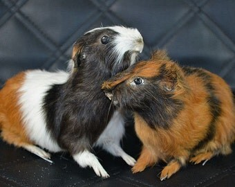 taxidermy of the guinea-pig,2ps free shipping to every where