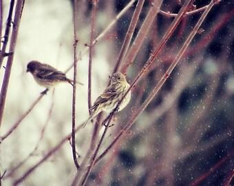 Bird Photography house finch,finches,birds in winter,snowing,cute,home decor,gifts for bird lovers,nature,adorable birds,bird photography