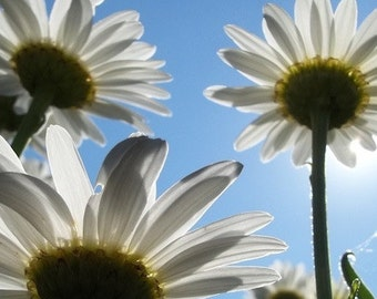 Shasta Daisies, Daisy Photos, Daisies, Pictures of Daisies, Daisy, Flowers, Flower Pictures