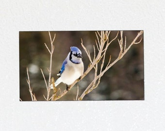 Blue Jay Magnet - Bird Magnet, Bird Photography Magnet, Wildlife Photography, Wildlife Photo Magnet, Bird Lover Gift, Songbird Nature Magnet
