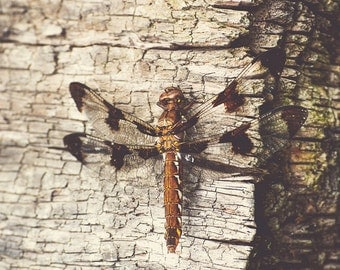 Dragonfly on a Log- Fine Art Photography- Nature- Brown-Outdoors- Insect-Summer 8x10
