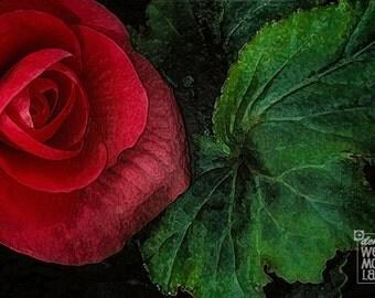 Flower Photography, Garden Photography, California, Begonia Rose, Rex Begonia