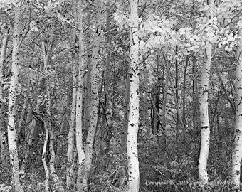 Aspen Trees, Black and White Photography, Fine Art Photographic Print