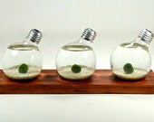 Triple Marimo Ball Light Bulb Aquarium with Natural Wood Base -- Natural Wood Decor, Real Wood Home Decor, Wood Table Decor, Wood Gift Ideas